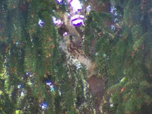 Il falchetto fotografato sull'albero di casa, a Teggiano