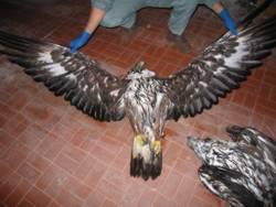 Aquila reale uccisa da veleno